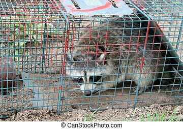 Feeders Invaded by Raccoons - We use a trap to capture them...