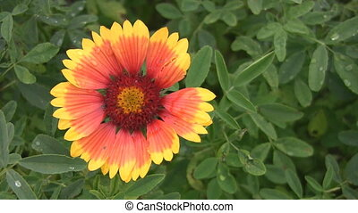 Bright flower. - A colourful red and yellow flower moves...