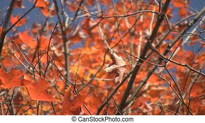 Fall maple leaf. - A maple leaf flutters in the autumn wind....