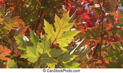 Fall maple leaf. - Bright maple leaf sways in the breeze....