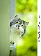 Cute curious cat. - Norwegian Forest Cat lying on the window...
