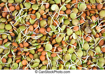 lentil seeds with sprouts isolated on white