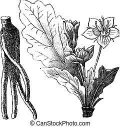 Mandrake root or Mandragora officinarum vintage engraving -...