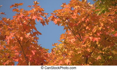 I heart autumn - Heart-shaped gap in autumn leaves Ontario,...