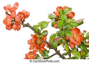 Blossoming Japanese quince (Chaenomeles) macro - Blossoming...