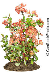 Blossoming Japanese quince (Chaenomeles) on bed
