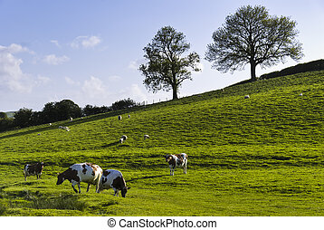 English Field In Spring - Grazing cattle on an English farm...