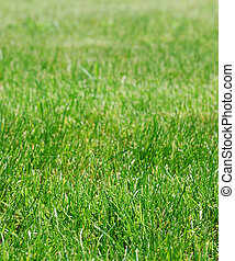 Green grass - Close-up of a green grass