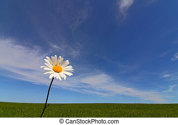 Margerite - Marguerite in front of blue sky