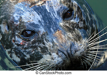 Seal at Fishermans Wharf, Victoria, BC, Canada - Seal at...