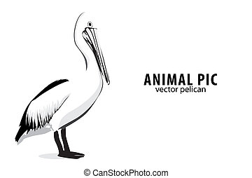 Pelican - Illustration of a pelican on white