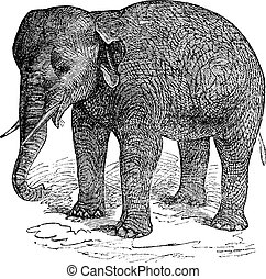 Asian Elephant or Asiatic elephant or Elephas maximus,...
