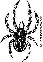 comum, Orb-weaving, aranha, ou, comum, Epeira, ou, Araneus,...
