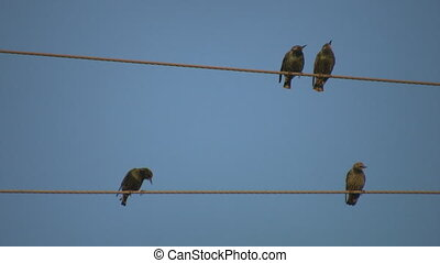 Birds. Couples and singles. - Starlings preparing to...