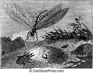 Antlion or Myrmeleontidae, vintage engraving. Old engraved...