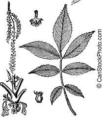 Leaf, base, stem and flower of hickory vintage engraving....