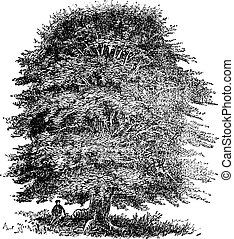 Beech tree vintage engraving. Old engraved illustration of...