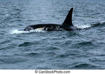 Orca Whale Watching, Victoria, BC, Canada