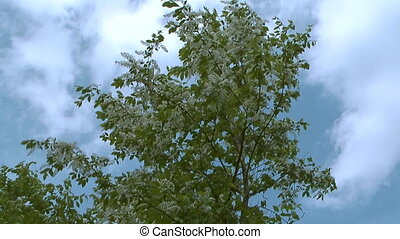 Bird cherry tree - Blossoming bird cherry tree against sky...