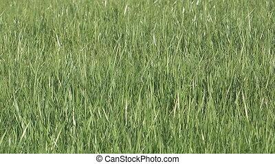 Spring grass.
