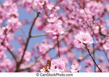 Plum blossom - Branch with pink plum blossoms