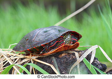 Painted Turtle (Chrysemys picta) coming out in spring in...