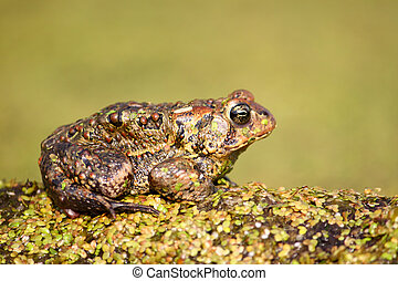 American Toad (Bufo americanus) rests on a log in northern...