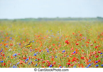 Small songbird in wild flowers - Small singing bird wagtail...