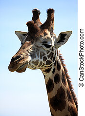 Giraffe - Kenya - Giraffe - Lake Nukuru National Park in...