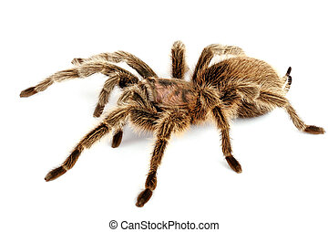Chilean Rose Hair Tarantula Grammostola rosea - Chilean Rose...