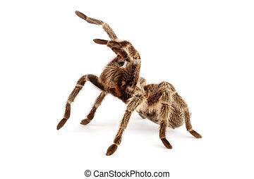 Chilean Rose Hair Tarantula (Grammostola rosea) - Chilean...