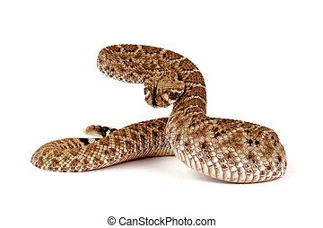 serpiente de cascabel, retrato