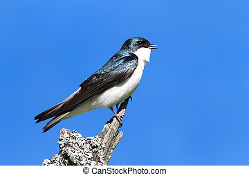 Tree Swallow on a stump - Tree Swallow (tachycineta bicolor)...