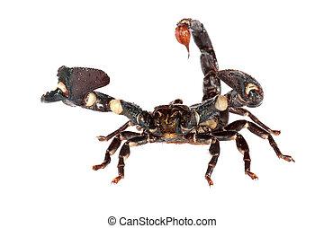 EMPORER, escorpião, (Pandinus, imperator)