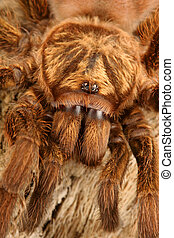 Caribbean Golden Grey Tarantula - Caribbean Golden Grey...