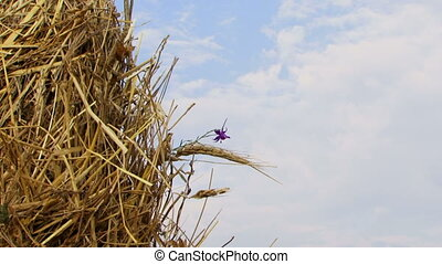 Flower in a haystack - Crop residues are collected in a...