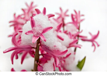 snow covered hyacinth - Pink hyacinth covered with snow.