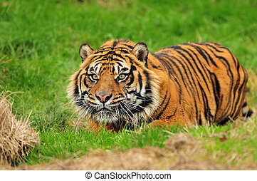 Sumatran tiger hunting - Male Sumatran tiger hiding in...