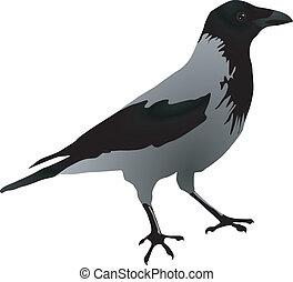 Ravens - vectors Ravens
