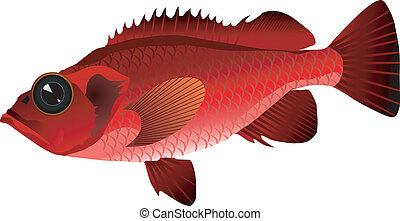 vectors ocean perch on a white background
