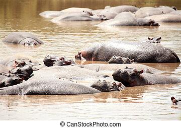 Hippo in Mara River - Kenya - Hippo in Mara River - Maasai...