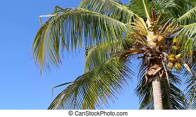 Coconut Palm In Breeze - Coconut bearing palm tree fronds...