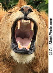 Male Lion - Kenya - Male Lion - Maasai Mara National Park in...