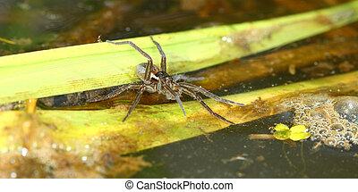 (dolomedes,  six-spotted,  triton), pesca, Araña