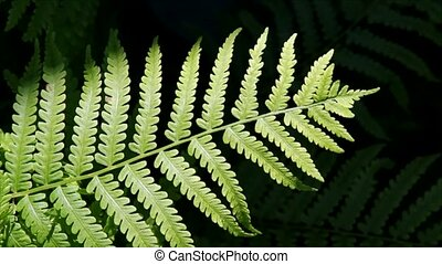 Fern Frond in the Breeze - A fern frond waves in a...