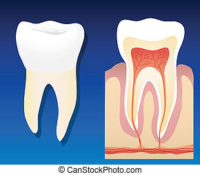 Healthy tooth - A vector illustration showing a complete...