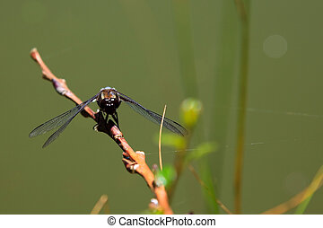 Colorful dragonfly, damselfly resting in the sun. (Orthetrum...