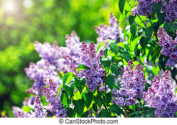 purple lilacs - purple lilac bush blooming in May day City...