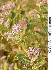 Ayurveda Medicinal Plant Calotropis Gigantea textured...