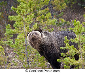 Grizzly Bear - Grizzly bear in Banff national park